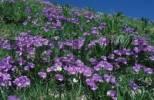 Thumbnail Long-spurred Pansy, Graubuenden, Switzerland Viola calcarata