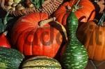Thumbnail Pumpkins Cucurbita spec.