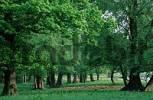 Thumbnail Oaks, biosphere preserve Elbe, Saxony-Anhalt, Germany Quercus spec.