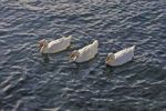 Thumbnail Albino Mallard Ducks Anas platyrhynchos swimming in formation