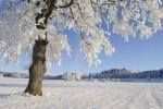 Thumbnail Pedunculate Oak Quercus robur, coated with white frost, Lindeberg, Aargau, Switzerland, Europe