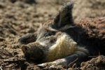 Thumbnail Mangalitsa, Curly-Hair Hog, endangered Hungarian farm animal