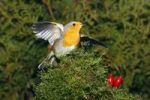 Thumbnail European Robin Erithacus rubecula