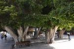 Thumbnail Laurel trees, Plaza de la Constitucin Square, San Sebastin de la Gomera, Canary Islands, Spain, Europe