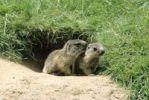 Thumbnail Alpine Marmot Marmota marmota, young outside the den, Allgaeu Alps, Germany, Europe