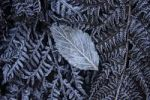 Thumbnail Fern covered with frost