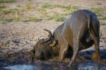 Thumbnail African or Cape Buffalo (Syncerus caffer) bathing in mud, Okavango Delta, Botswana, Africa