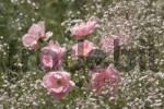 Thumbnail Rose Roses Rosebed