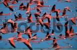 Thumbnail American Flamingos, Yucatan, Mexico / Phoenicopterus ruber ruber / side