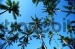Thumbnail Coconut Palms, Bali, Indonesia
