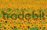 Thumbnail Sunflower field, Provence, Southern France / Helianthus annuus