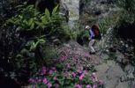 Thumbnail Hiker and a sea of flowers in the ravine, Ravine des Orangers, Cirque de Mafate, le de La Runion, France, Europe