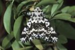 Thumbnail Black Arches or Nun Moth Lymantria monacha