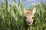 Thumbnail Roe deer (Capreolus capreolus), fawn in green grain, South Moravia, Czech republic, Europe