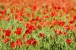 Thumbnail Corn Poppy, Red Poppy Papaver rhoeas