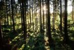 Thumbnail Sunrayes shining through coniferous forest, Sweden