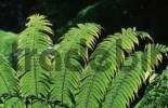 Thumbnail Fern leaves, Queensland, Australia
