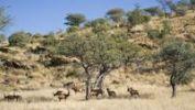 Thumbnail Hartebeests Alcelaphus buselaphus, Dan Viljoen National Park, Namibia, Africa