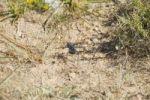 Thumbnail Armoured Ground Cricket Tettigoniidae, Namibia, Africa