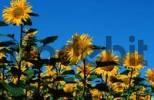 Thumbnail Sunflower field, Switzerland / Helianthus annuus
