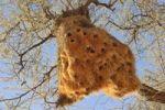 Thumbnail Baya Weaver Ploceus philippinus nest, Namib-Naukluft National Park, Republic of Namibia, Africa