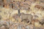 Thumbnail Greater Kudu (Tragelaphus strepsiceros), Namibia, Africa
