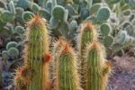 Thumbnail Cacti after a rainfall in the garden of the Namtib Lodge in the Tiras mountains, Namibia, Africa