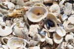 Thumbnail Seashells at Diaz Point in the Diamantkueste, Diamond Coast National Park, Namibia, Africa