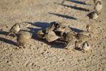 Thumbnail Sociable Weaver (Philetairus socius), Klein Aus Vista Lodge, Namibia, Africa