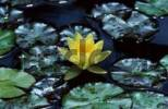 Thumbnail Water-lily / Nymphaea spec.