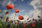 Thumbnail Corn or Field Poppy Papaver rhoeas, sky, clouds, meadow, field