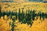 Thumbnail Mixed Forest in autumn, Whitehorse, Yukon Territory, Canada