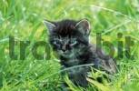 Thumbnail Domestic Cat, kitten