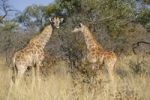 Thumbnail Giraffes (Giraffa camelopardalis) on the plateau in the Waterberg National Park, Namibia, Africa