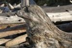 Thumbnail Sculpture of a seal made of driftlog, on the Pacific coast, Kalaloch, Olympic Peninsula, Washington, USA