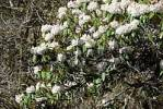 Thumbnail White and pink flowering Rhododendron Gen Do Tibet China