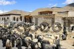 Thumbnail Herd of sheep and goats at houses Shigatse Tibet China