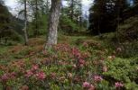 Thumbnail Alpenrose (Rhododendron ferrugineum) in a larch tree forest, Val Poschiavo, Bernina, Graubuenden, Switzerland, Europe