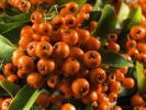 Thumbnail Firethorn berries (Pyracantha Hybride Orange Glow)