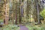 Thumbnail Hiking trail through a rainforest, Hoh Rain Forest, Olympic Peninsula, Washington, USA