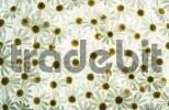 Thumbnail Daisy blossoms