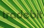 Thumbnail Fan palm leaf