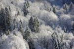 Thumbnail Mixed forest covered with snow and frost