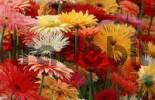 Thumbnail Gerbera Bouquet