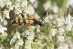 Thumbnail Longhorn Beetle (Strangalia maculata) on angelica