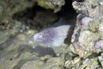 Thumbnail Geometric Moray (Gymnothorax griseus)