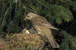Thumbnail Mistle Thrush (Turdus viscivorus) at nest with young