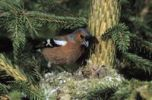 Thumbnail Chaffinch (Fringilla coelebs), male at nest with young