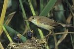 Thumbnail Eurasian Reed Warbler (Acrocephalus scirpaceus) at nest with young