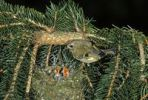 Thumbnail Goldcrest (Regulus regulus) at its nest on a spruce branch